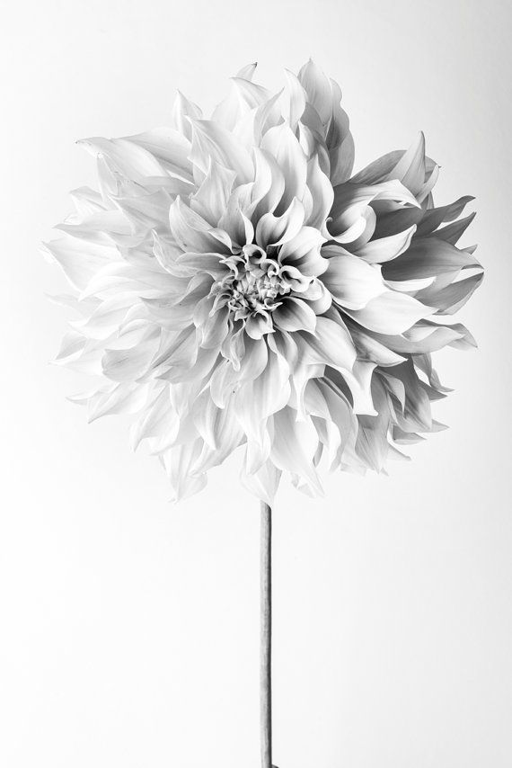 Flower Photography – Floral Still Life Photography, Pink Dahlia in Black and White, Cafe au Lait, Wall Decor, Wall Art