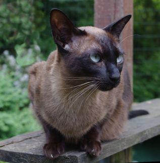 Burmese cats victoria australia