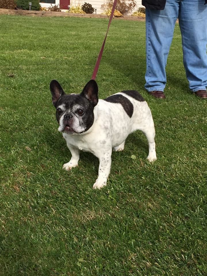 Adopt Rummy On Horses Dogs French Bulldog Adoption