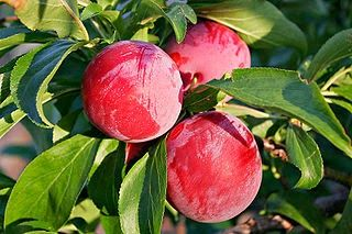 10 Magnificent Plum Benefits And Nutrition Facts : Healthfame.blogspot.com