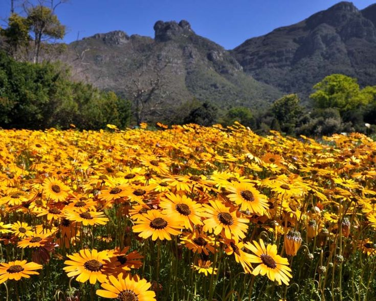 """Namaqualand Daisies, referenced in AMS's """"The Handsome Man's De Luxe Cafe'"""""""