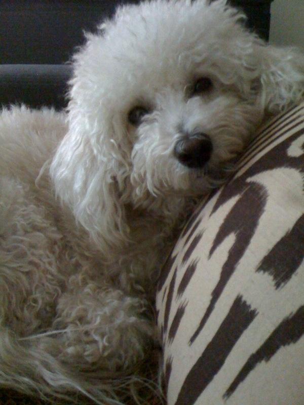 1000 Images About Bichon Frise On Pinterest Poodles