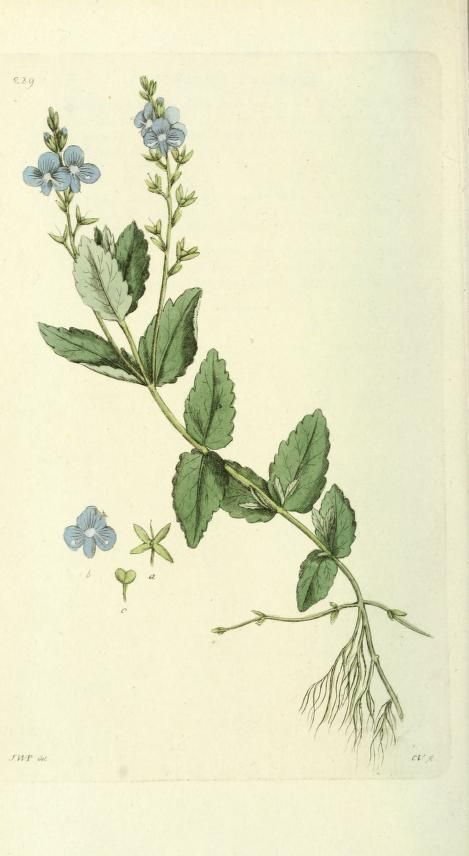 Veronica Chamaedrys (germander speedwell, bird's-eye speedwell). Plate taken from 'Svensk Botanik' by J.W. Palmstruch. Published 1805 by Tryckt hos C. Delén archive.org