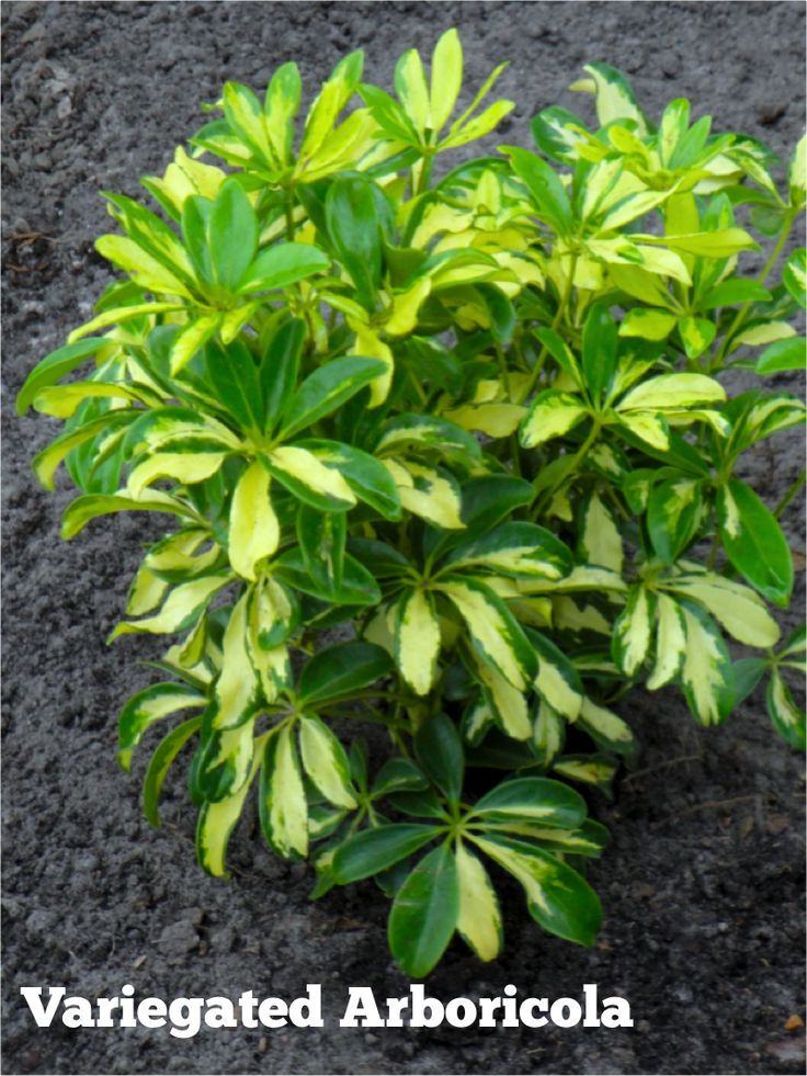 Variegated Arboricola A Showy Easy Care Member Of The 400 x 300