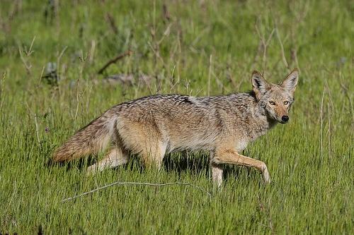 Coyote: Photos, Photograph, Coyotes, Animal