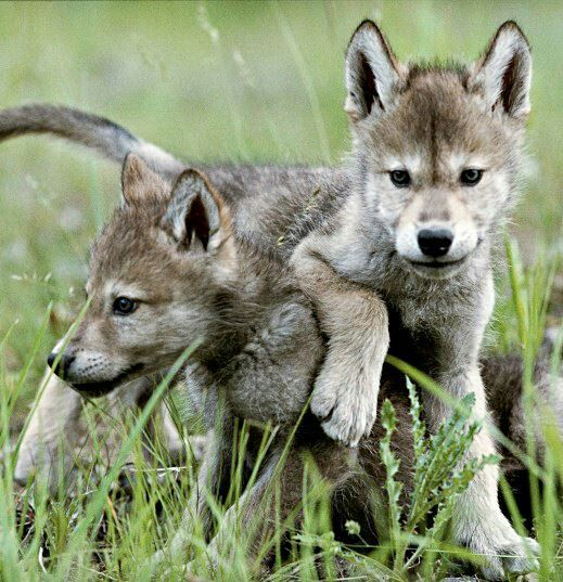 """Alaska Governor Allows """"kill-on-site"""" Policy for Orphaned Wolf Pups and Bear…"""