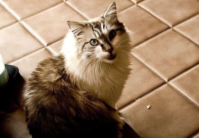 El resfriado en los gatos es completamente diferente al nuestro. Las infecciones respiratorias superiores son extremadamente contagiosas y es muy común que todos los gatos de una casa se contagien rápidamente