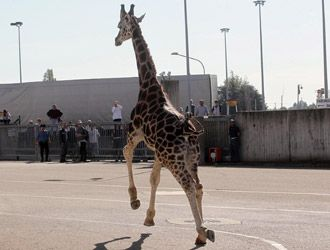 A giraffe runs free after having escaped from the zoo.  I'm with you, even if you are not here any more