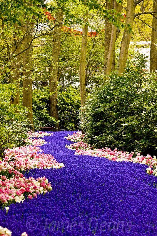 La tulipe reine du parc de Kenkenhof