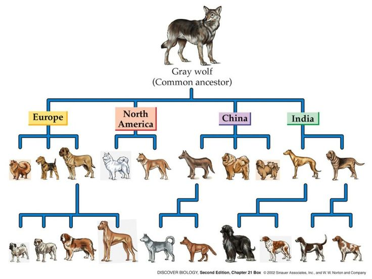 Evolution of dogs | Artificial Selection-Man-made ...