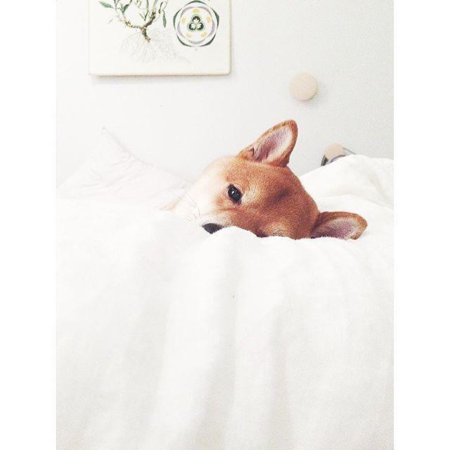 Good night!  #goodnight #sweetdreams #sleeptight #shibeloves