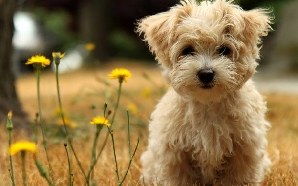 Super Cute Affenpinscher HD Wallpapers. For more cool wallpapers, visit: www.Hdwallpapersbank.com You can download your favorite HD wallpapers here .. It's free.