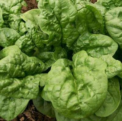Spinach Seeds ★ Bloomsdale ★ Excellent Flavor ★ FREE SHIPPING ★ 500+ Seeds ★★★★★     .....    stores.ebay.ca/THESEEDHOUSE