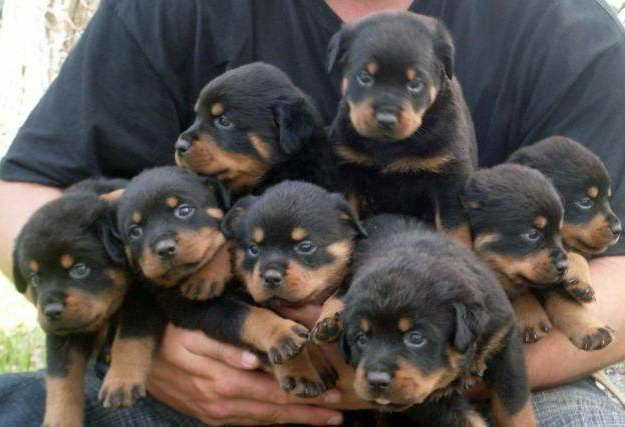 Baby Rottweiler Puppies For Sale Rottweiler Puppies For Sale