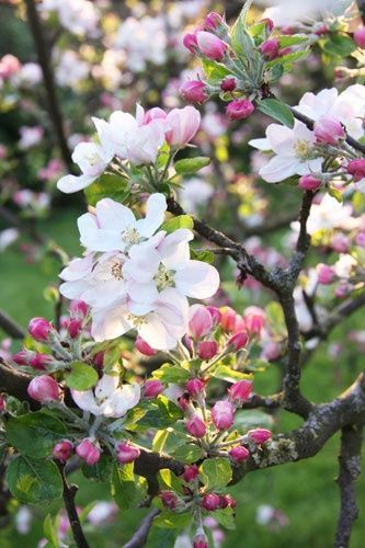 Apple Blossom! Due to the fine weather I have apple blossoms since a few days, my apple tree is the queen of my garden at the moment.
