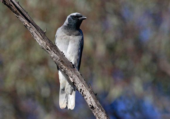 Black-faced Cuckoo-shrike | BirdLife Australia