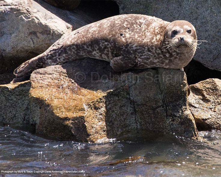 Harbor Seal perched atop a rock - Photo taken aboard one of our safaris by Naturalist Mark Tyson.  #Harborseal #pinniped #wildlife #danapoint #seal #california #dolphinsafari