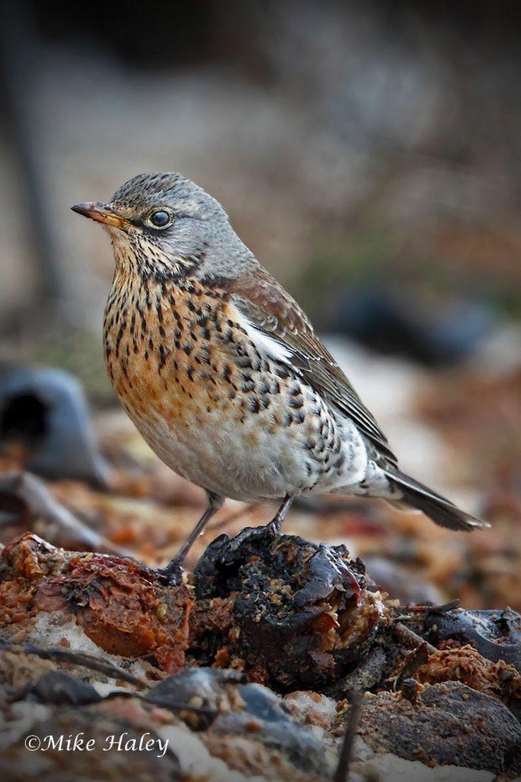 Grive Litorne // Wacholderdrossel // Tordo-Zornal // Fieldfare (Turdus Pilaris) #aves #turdidae
