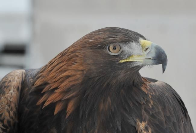Estate and RSPB clash over missing eagle - Newspaper article from April 2017