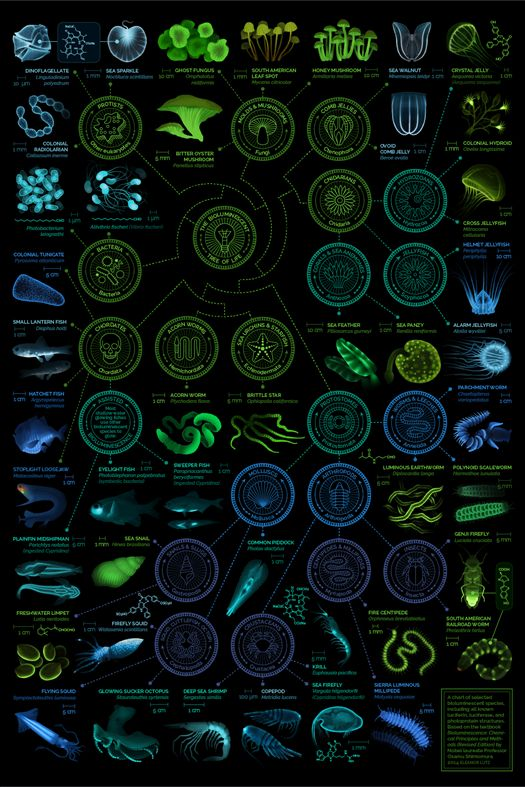 Who Knows What Glows? Even though fireflies may present the most famous example of bioluminescence, the biological ability to light up is shared across different kingdoms. An enormous diversity of organisms luminesce using various biological tactics. For example, glowing sucker octopi twinkle a blue-green color due to special structures called photophores, or light-up suckers. And minuscule sea snails glow a faint green, because they contain the enzyme luciferase (as does the firefly).