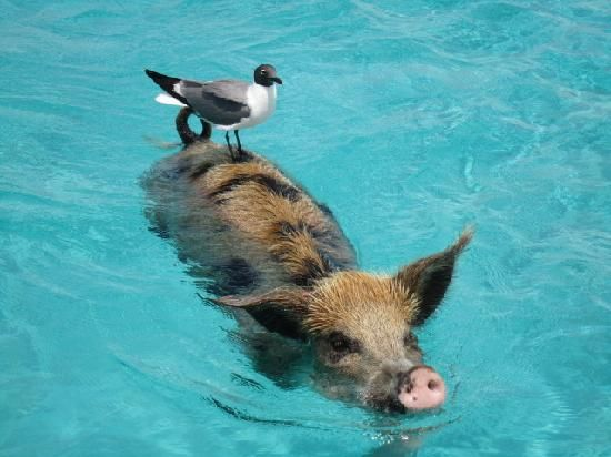 A free ride in Sandals Emerald Bay #pig #travels #animals