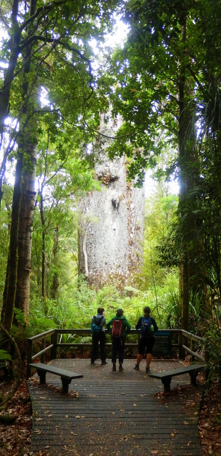 Te Matua Ngahere is the second largest kauri tree in New Zealand