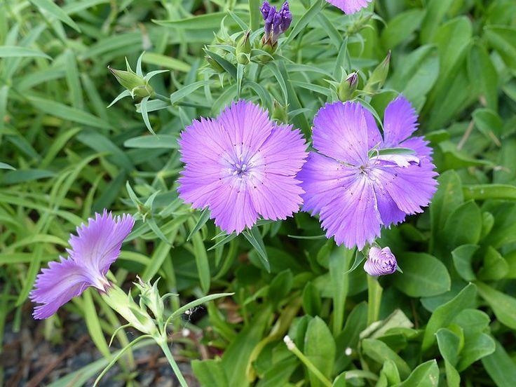 http://faaxaal.forumgratuit.ca/t1074-photos-de-fleurs-oeillet-de-chine-oeillet-de-l-amour-dianthus-chinensis-dianthus-amurensis-amur-pink#6796