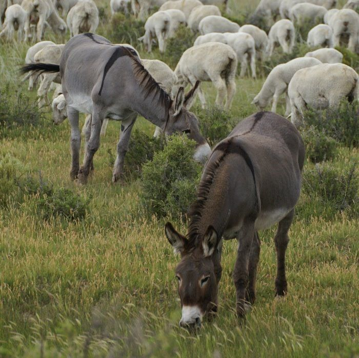 Donkeys are known for being guard dogs to sheep and other small animal herds.  They will attack a coyote, wolf, or other small creatures that endanger the herd.