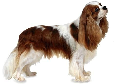 Cavalier King Charles Spaniel - Toy Dog Group