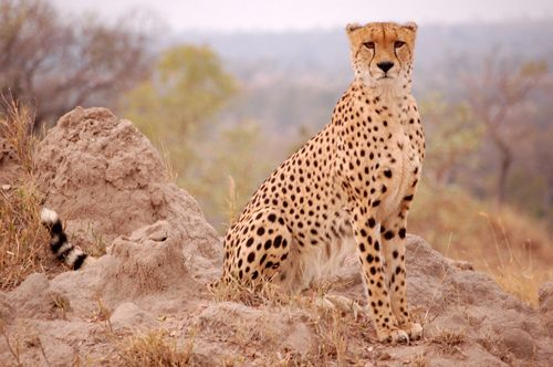 Sabi Sabi - this cheetah posed for us while Nyx set up her gianormous camera.