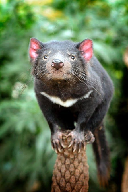 "Tasmanian Devil  ❤ AKA - PRESIDENT DEVIL -  "" INTERRUPTION LEADS TO UNDERSTANDING "" ."" THE SOUL OF MY THOUGHTS IS THE ILLUSION OF MY GREED "" . JODI ARIAS . "" THE ELEMENT OF SURPRISE IS A DETOUR OF THOUGHT "" .- "" IF YOU DON'T WANT A BAD HABIT THEN DON'T START ONE "" - "" ANYTHING WORTH HAVING IS WORTH WAITING FOR "" - "" THE GREATEST GIFT IS THE GIFT OF SELF "" . "" IGNORANCE SPEAKS VOLUMES WHILE JUSTICE SLEEPS "" ."