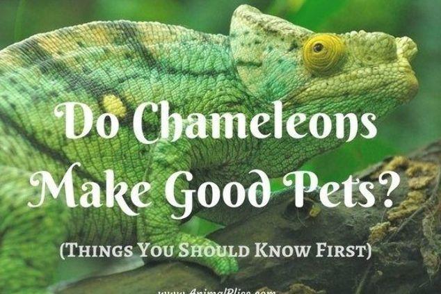 Pin On Chameleons