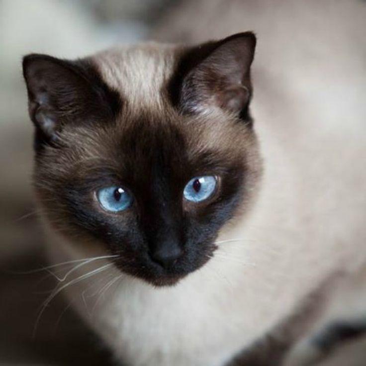 gatto tailandese - Cerca con Google