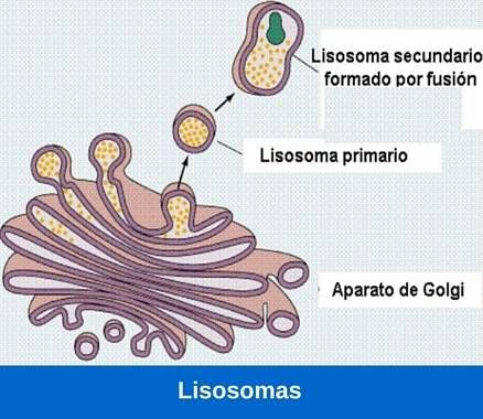 Los lisosomas son organelas formadas por el complejo de Golgi. Contienen enzimas hidroliticas y paleolíticas que se encargan de digerir sustancias externas o internas a ellos, por lo que son los encargados de la digestión celular Su estructura consiste en una forma redondeada, caracterizadas como una bolsa de enzimas, las cuales en caso de liberarse …