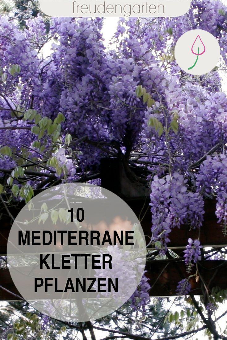mediterrane kletterpflanzen b ume und str ucher f r den. Black Bedroom Furniture Sets. Home Design Ideas