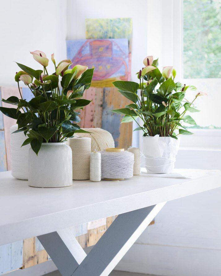 White Planters Featuring Anthurium Plants In The Home #decor #interiors ·  Indoor Flower PotsIndoor ...
