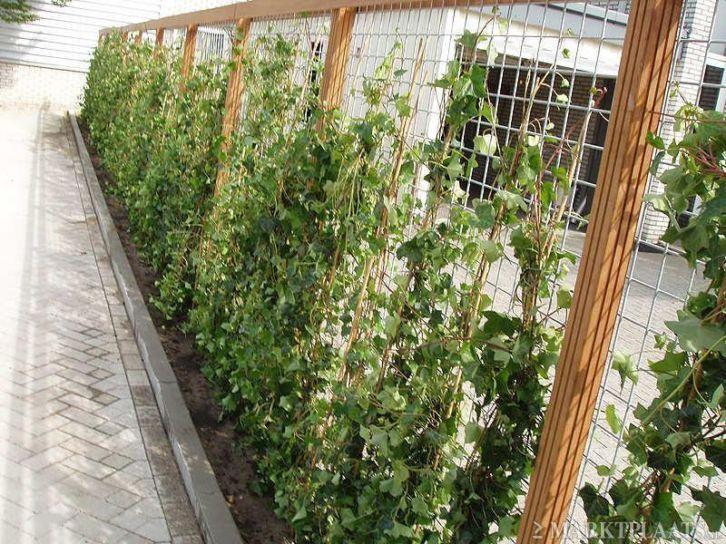 Klimop hekwerk eventueel te gebruiken tegen keerwand makkelijke scheiding tuin idee n - Bamboe in bakken terras ...