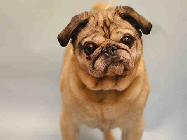 **SENIOR**   Super Urgent Manhattan - BAXTER - #A1101071 - MALE GRAY TAN PUG MIX, 12 Yrs - OWNER SUR - EVALUATE, NO HOLD Reason MOVE2PRIVA - Intake 01/05/17 Due Out 01/05/17 - ALLOWED ALL HANDLING, FRIENDLY