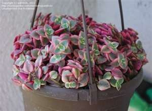 I planted these with my Coral Cactus. They are delicate and beautiful! Stunning color. I only wish I had bought more.: Stunning Color, Coral Cactus, Delicate, Beautiful, Gardening, Bought