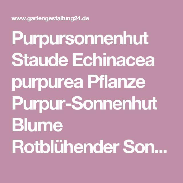 Purpursonnenhut Staude Echinacea purpurea Pflanze Purpur-Sonnenhut Blume Rotblühender Sonnenhut Pflege Schnitt Vermehrung Standort - Gartengestaltung24