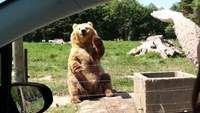 Wuivende beer verovert het internet - HLN.be