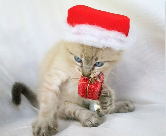 christmas cat and kitten pictures | funny cats phtos 10 575x474 35 Adorable Funny Cats Pictures