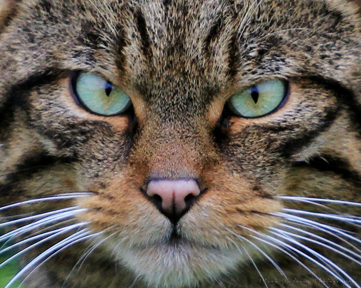 107 best scottish wildcat images on pinterest cute - Scary yellow eyes ...