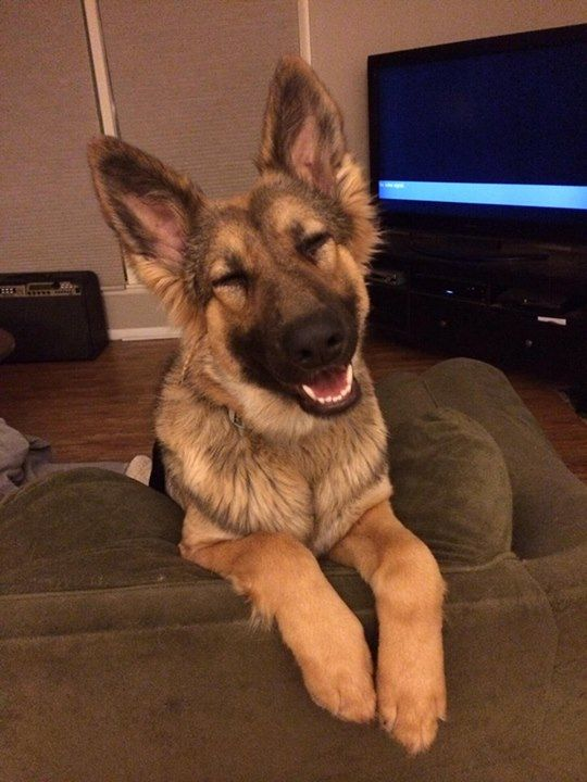 """""""Cheeeeeese!"""" Share if this grinning German shepherd made you smile!"""