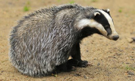 Humaneness of badger cull to be judged on noise of dying animals  -  the world has gone mad.