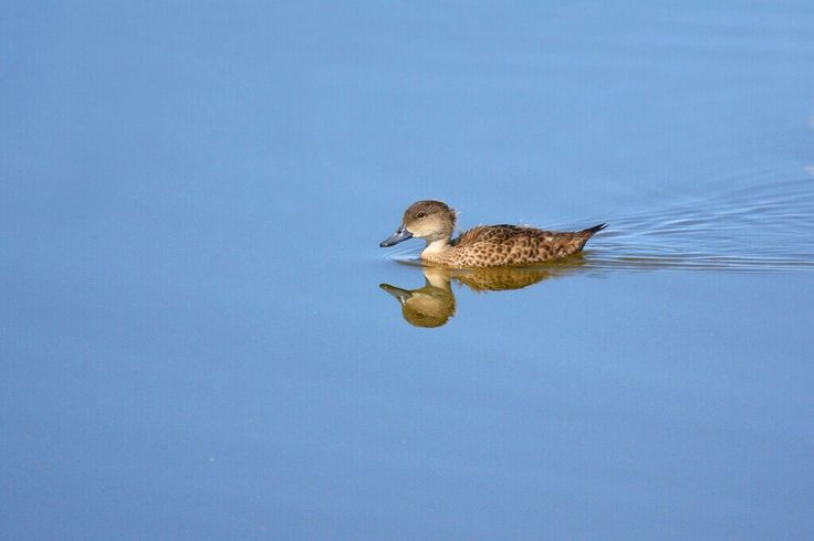 Grey Teal.  Photographed by Lee Mason.