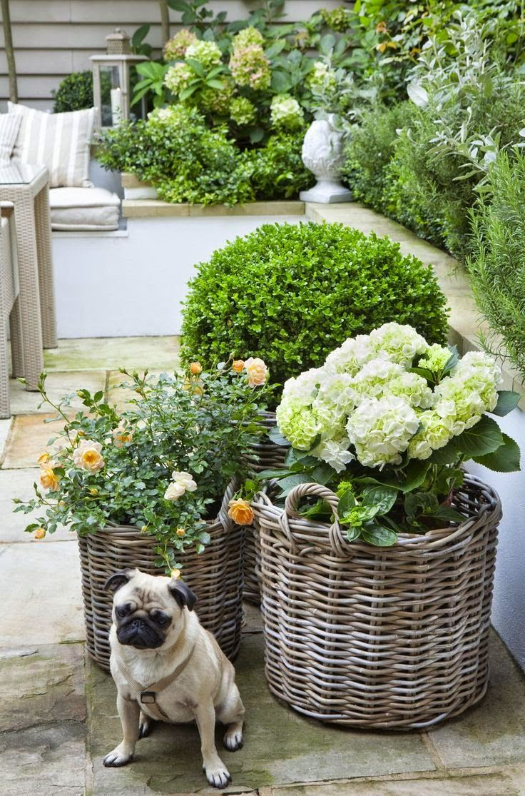 Roses, Topiary, Hydrangeas And Poppy The Pug....
