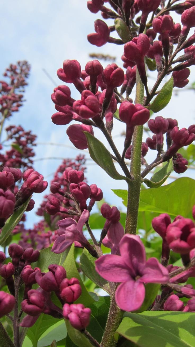 Spring in Sweden - lilacs