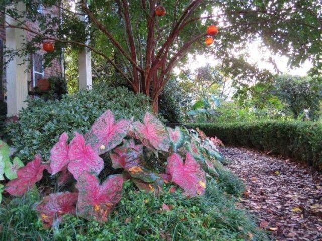 plantes d'ombre caladien-amenagement-jardin