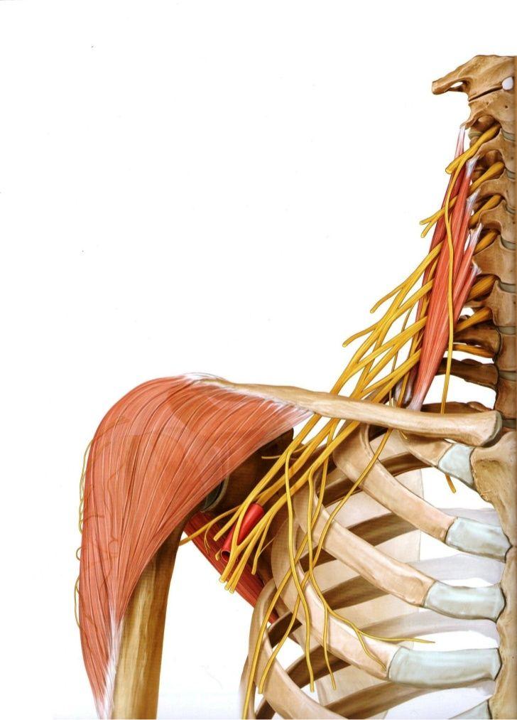 25 besten anatomía Bilder auf Pinterest   Menschliche anatomie ...